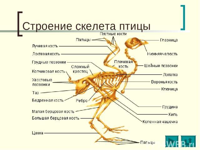 Строение скелета птицы