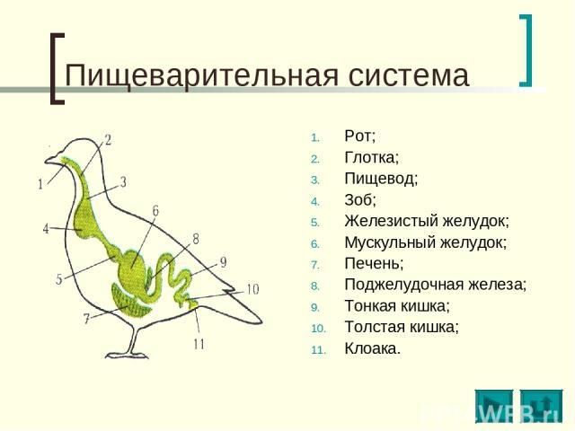 Пищеварительная система Рот; Глотка; Пищевод; Зоб; Железистый желудок; Мускульный желудок; Печень; Поджелудочная железа; Тонкая кишка; Толстая кишка; Клоака.