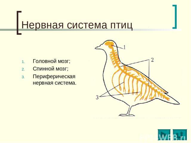 Нервная система птиц Головной мозг; Спинной мозг; Периферическая нервная система.