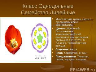 Класс Однодольные Семейство Лилейные Многолетние травы, часто с луковицами или с