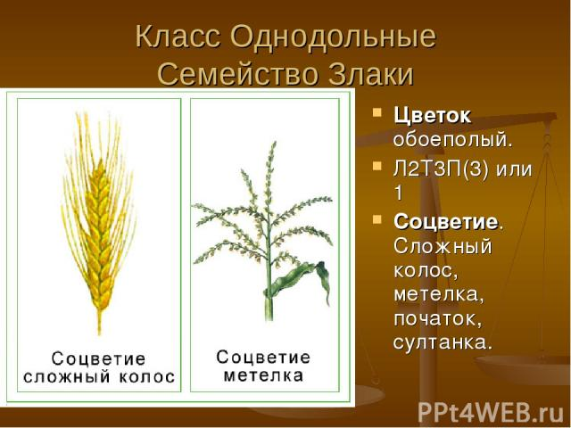 Класс Однодольные Семейство Злаки Цветок обоеполый. Л2Т3П(3) или 1 Соцветие. Сложный колос, метелка, початок, султанка.