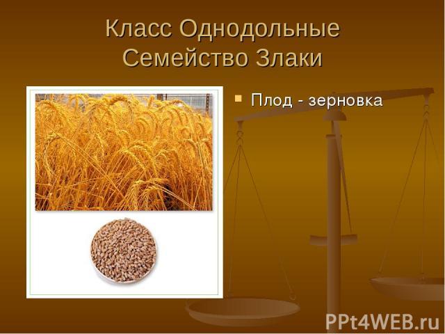 Класс Однодольные Семейство Злаки Плод - зерновка