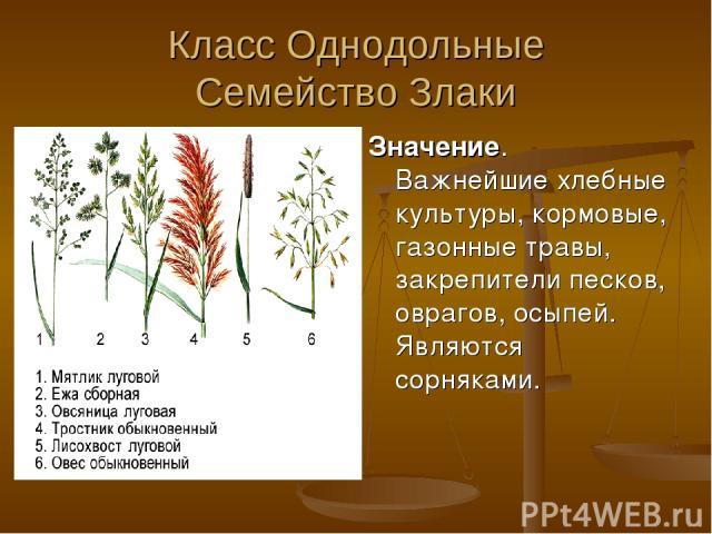 Класс Однодольные Семейство Злаки Значение. Важнейшие хлебные культуры, кормовые, газонные травы, закрепители песков, оврагов, осыпей. Являются сорняками.