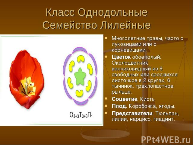 Класс Однодольные Семейство Лилейные Многолетние травы, часто с луковицами или с корневищами. Цветок обоеполый. Околоцветник венчиковидный из 6 свободных или сросшихся листочков в 2 кругах, 6 тычинок, трехлопастное рыльце. Соцветие. Кисть Плод. Коро…
