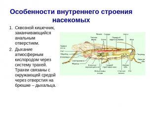 Особенности внутреннего строения насекомых Сквозной кишечник, заканчивающийся ан