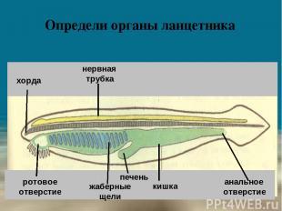 Определи органы ланцетника