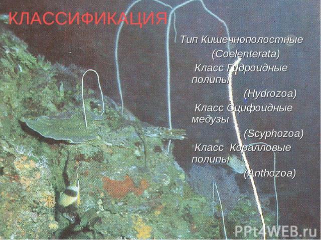 КЛАССИФИКАЦИЯ Тип Кишечнополостные (Coelenterata) Класс Гидроидные полипы (Hydrozoa) Класс Сцифоидные медузы (Scyphozoa) Класс Коралловые полипы (Anthozoa)
