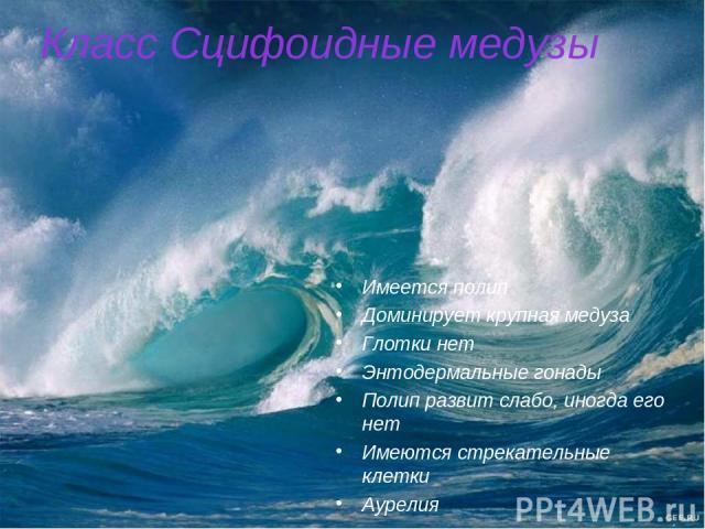 Класс Сцифоидные медузы Имеется полип Доминирует крупная медуза Глотки нет Энтодермальные гонады Полип развит слабо, иногда его нет Имеются стрекательные клетки Аурелия