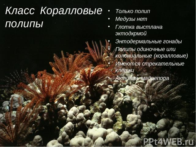 Класс Коралловые полипы Только полип Медузы нет Глотка выстлана эктодкрмой Энтодермальные гонады Полипы одиночные или колониальные (коралловые) Имеются стрекательные клетки Актиния, мадрепора