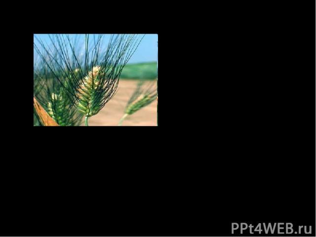 Вклад в науку: 5. Предложил для классификации организмов ТАКСОНЫ – систематические группы, которыми пользуемся по сей день Империя – клеточные Царство – растения Отдел – цветковые Класс – однодольные Семейство – злаковые Род – пшеница Вид – пшеница …