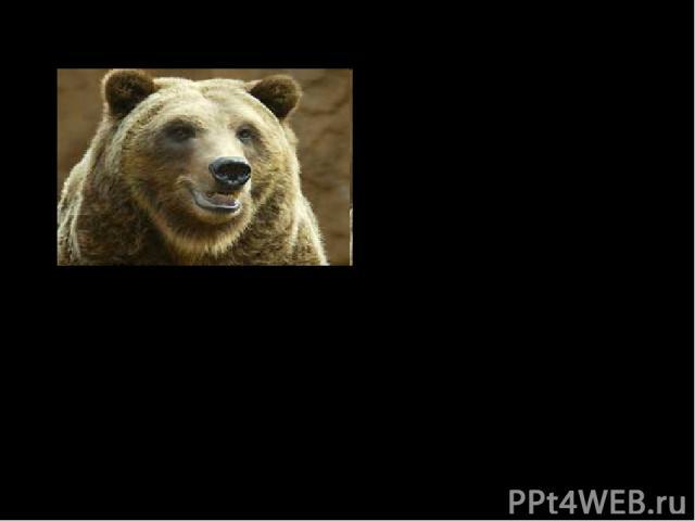 Вклад в науку: 5. Предложил для классификации организмов ТАКСОНЫ – систематические группы, которыми пользуемся по сей день Империя – клеточные Царство – животные Тип – хордовые Класс – млекопитающие Отряд - хищные Семейство – медвежьи Род – медведь …