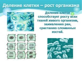Деление клеток способствует росту всех тканей живого организма, заживлению ран,