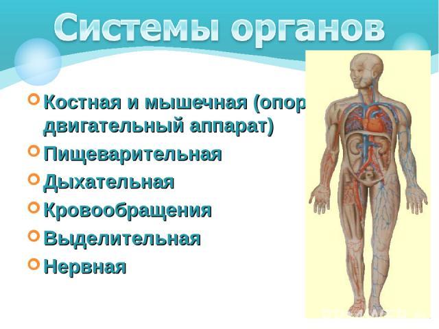 Костная и мышечная (опорно-двигательный аппарат) Пищеварительная Дыхательная Кровообращения Выделительная Нервная