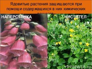 Ядовитые растения защищаются при помощи содержащихся в них химических веществ. *