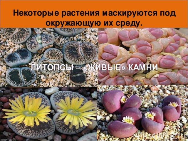 Некоторые растения маскируются под окружающую их среду. * *