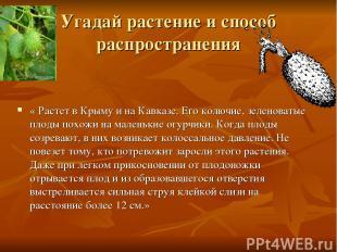 Угадай растение и способ распространения « Растет в Крыму и на Кавказе. Его колю