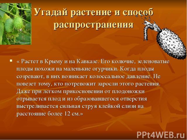 Угадай растение и способ распространения « Растет в Крыму и на Кавказе. Его колючие, зеленоватые плоды похожи на маленькие огурчики. Когда плоды созревают, в них возникает колоссальное давление. Не повезет тому, кто потревожит заросли этого растения…