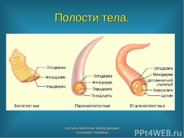 Полости тела. учитель биологии Хуснутдинова Гульнара Гаязовна учитель биологии Хуснутдинова Гульнара Гаязовна