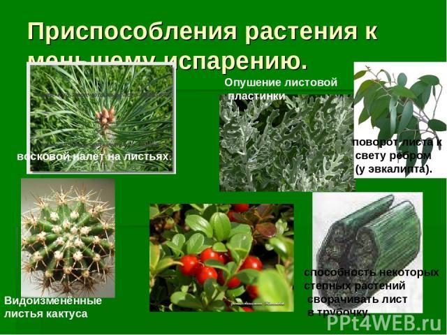 Приспособления растения к меньшему испарению. Видоизменённые листья кактуса поворот листа к свету ребром (у эвкалипта). восковой налет на листьях. способность некоторых степных растений сворачивать лист в трубочку. Опушение листовой пластинки