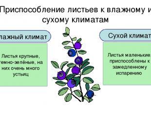 Приспособление листьев к влажному и сухому климатам Влажный климат Листья крупны