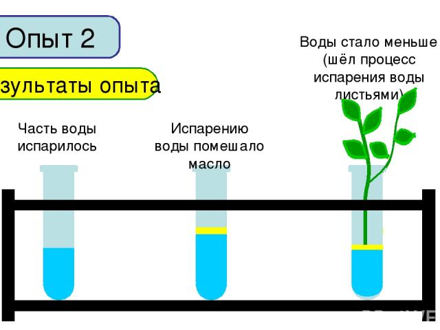 Опыт 2 Результаты опыта Часть воды испарилось Испарению воды помешало масло Воды стало меньше (шёл процесс испарения воды листьями)