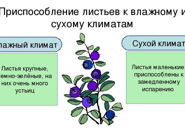 Приспособление листьев к влажному и сухому климатам Влажный климат Листья крупные, темно-зелёные, на них очень много устьиц Сухой климат Листья маленькие, приспособлены к замедленному испарению