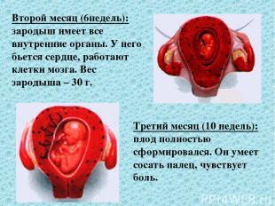 Второй месяц (6недель): зародыш имеет все внутренние органы. У него бьется сердц