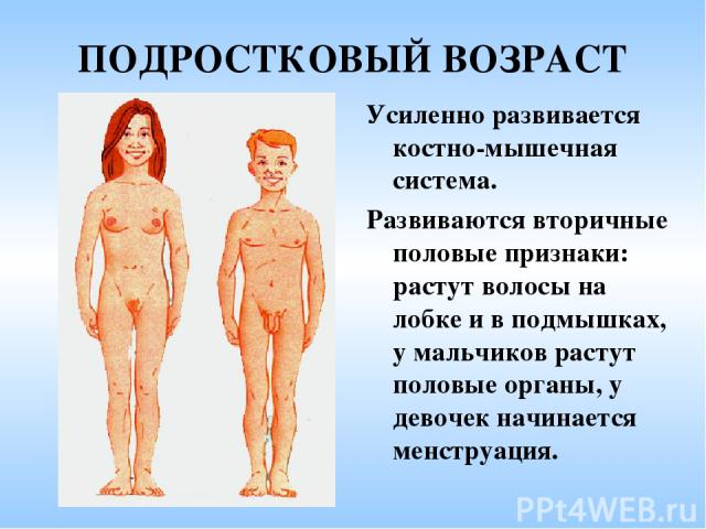 ПОДРОСТКОВЫЙ ВОЗРАСТ Усиленно развивается костно-мышечная система. Развиваются вторичные половые признаки: растут волосы на лобке и в подмышках, у мальчиков растут половые органы, у девочек начинается менструация.