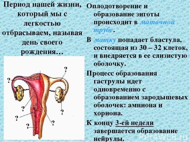 Период нашей жизни, который мы с легкостью отбрасываем, называя день своего рождения… Оплодотворение и образование зиготы происходит в маточной трубе. В матку попадает бластула, состоящая из 30 – 32 клеток, и внедряется в ее слизистую оболочку. Проц…