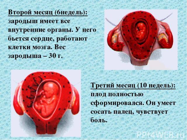 Второй месяц (6недель): зародыш имеет все внутренние органы. У него бьется сердце, работают клетки мозга. Вес зародыша – 30 г. Третий месяц (10 недель): плод полностью сформировался. Он умеет сосать палец, чувствует боль.