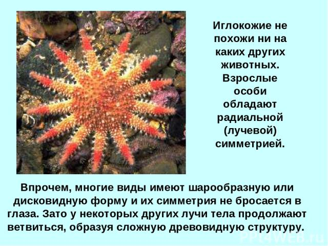 Впрочем, многие виды имеют шарообразную или дисковидную форму и их симметрия не бросается в глаза. Зато у некоторых других лучи тела продолжают ветвиться, образуя сложную древовидную структуру. Иглокожие не похожи ни на каких других животных. Взросл…