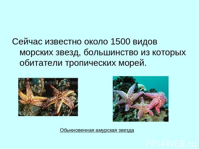 Сейчас известно около 1500 видов морских звезд, большинство из которых обитатели тропических морей. Обыкновенная амурская звезда
