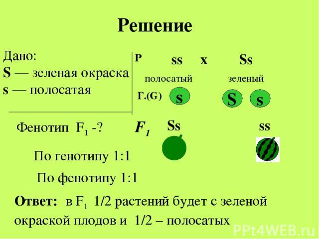 Дано: S — зеленая окраска s — полосатая Фенотип F1 -? Р ♀ ss ♂ Ss х полосатый зеленый S s s Ss ss Ответ: в F1 1/2 растений будет с зеленой окраской плодов и 1/2 – полосатых Решение Г.(G) F1 По генотипу 1:1 По фенотипу 1:1