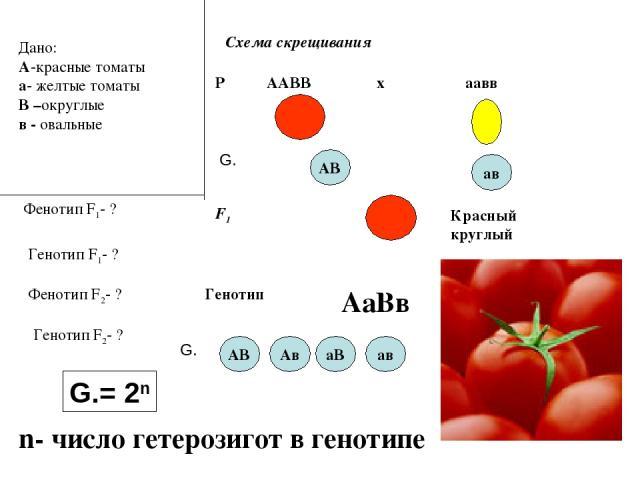 Дано: А-красные томаты а- желтые томаты В –округлые в - овальные Фенотип F1- ? Схема скрещивания Р ♀ ААВВ ♂ аавв х АВ F1 ав G. Генотип F1- ? Фенотип F2- ? Генотип F2- ? Красный круглый Генотип АаВв G. АВ Ав аВ ав G.= 2n n- число гетерозигот в генотипе
