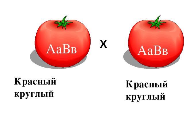 АаВв F1 ♀ ♂ Х Красный круглый Красный круглый АаВв