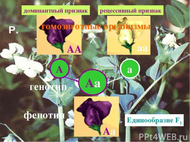 АА аа А а Аа Аа генотип фенотип Единообразие F1 доминантный признак рецессивный признак гомозиготные организмы Р. Х