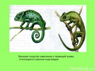 Внешнее сходство хамелеона и лазающей агамы, относящихся к разным подотрядам