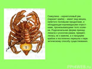 Саккулина – корнеголовый рак (паразит краба) – имеет вид мешка, набитого половым