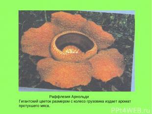 Раффлезия Арнольди Гигантский цветок размером с колесо грузовика издает аромат п