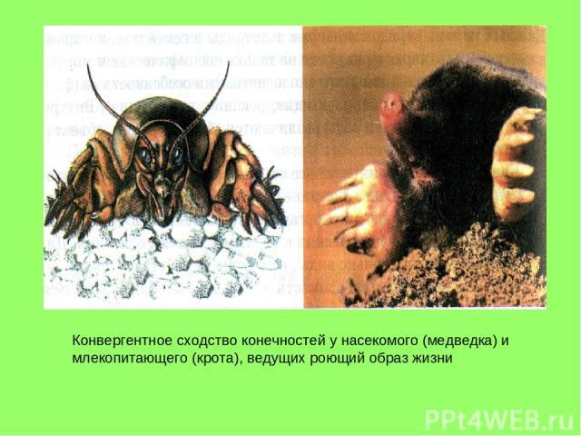 Конвергентное сходство конечностей у насекомого (медведка) и млекопитающего (крота), ведущих роющий образ жизни