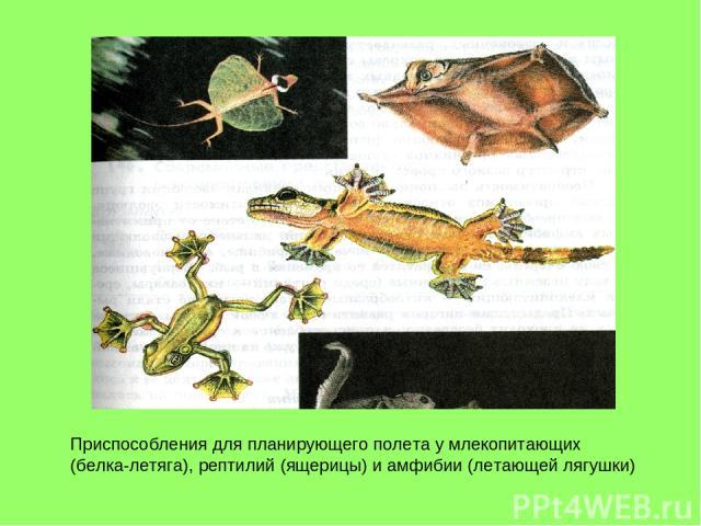 Приспособления для планирующего полета у млекопитающих (белка-летяга), рептилий (ящерицы) и амфибии (летающей лягушки)
