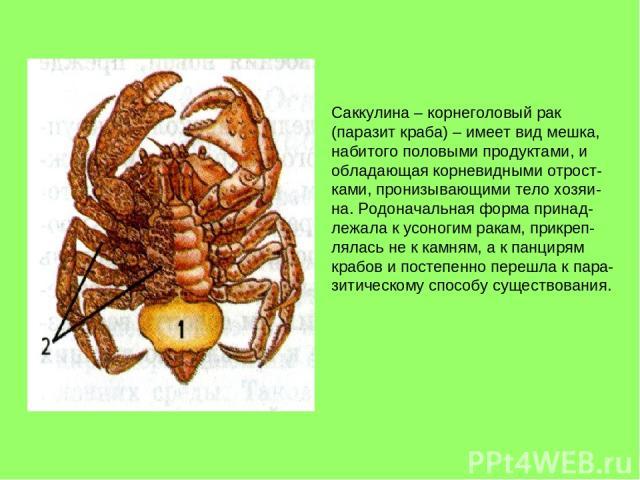 Саккулина – корнеголовый рак (паразит краба) – имеет вид мешка, набитого половыми продуктами, и обладающая корневидными отрост- ками, пронизывающими тело хозяи- на. Родоначальная форма принад- лежала к усоногим ракам, прикреп- лялась не к камням, а …