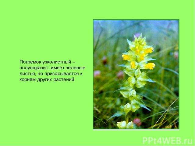 Погремок узколистный – полупаразит, имеет зеленые листья, но присасывается к корням других растений