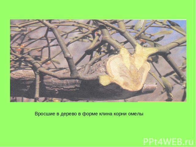 Вросшие в дерево в форме клина корни омелы