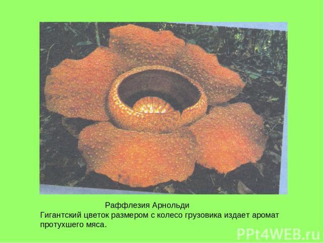 Раффлезия Арнольди Гигантский цветок размером с колесо грузовика издает аромат протухшего мяса.