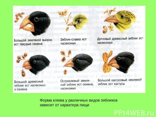 Форма клюва у различных видов зябликов зависит от характера пищи