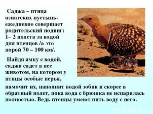 Саджа – птица азиатских пустынь- ежедневно совершает родительский подвиг: 1– 2 п
