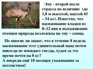 Эму - второй после страуса по величине (до 1,8 м высотой, массой 45 – 54 кг). Из