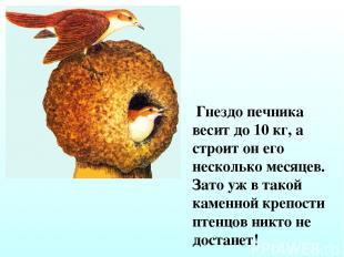 Гнездо печника весит до 10 кг, а строит он его несколько месяцев. Зато уж в тако