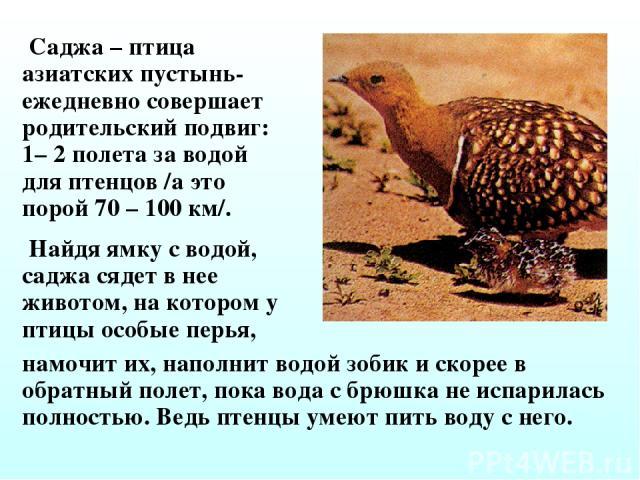 Саджа – птица азиатских пустынь- ежедневно совершает родительский подвиг: 1– 2 полета за водой для птенцов /а это порой 70 – 100 км/. намочит их, наполнит водой зобик и скорее в обратный полет, пока вода с брюшка не испарилась полностью. Ведь птенцы…